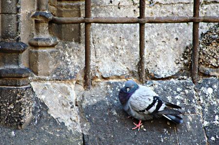 kratka: Gołąb za kratki 73 Zdjęcie Seryjne