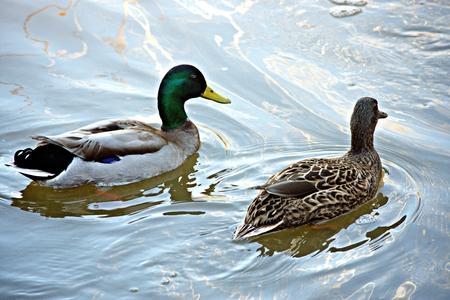 Ducks in Parque de Oromana in Alcala de Guadaira (Seville)