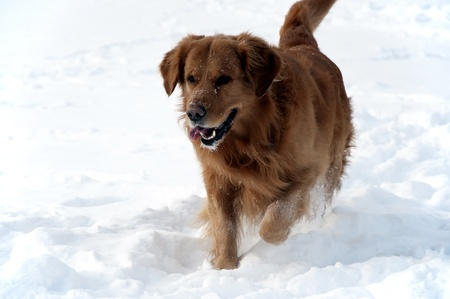 Dog in the snow Golden retriever walking photo
