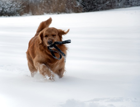 Dog in the snow playing and running photo
