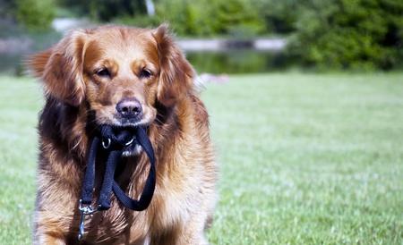 Golden Retriever dog face tongue park running photo