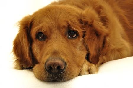 primer plano cara: Cara de perro golden retriever cerca, mirando al lado.