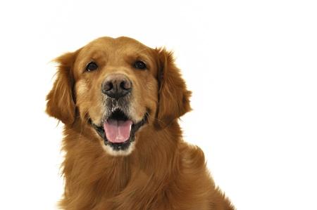 Golden retriever dog happy face close up, very expressive.