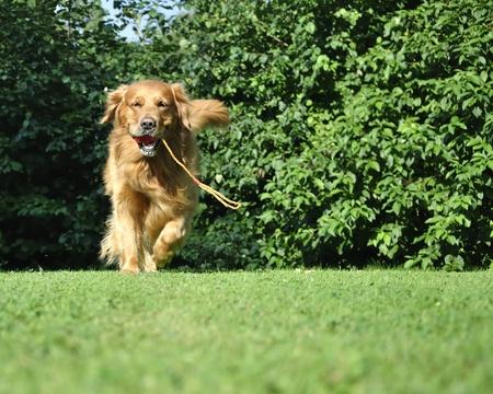 Golden retriever running in park. Stock Photo