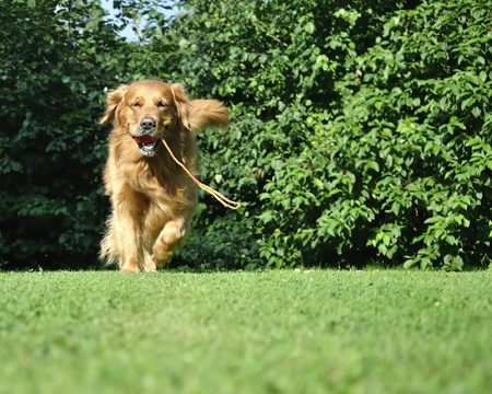 dog head: Golden retriever running in park. Stock Photo