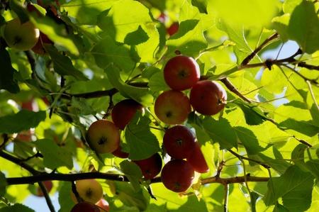 apple tree close up colour. 8 Stock Photo