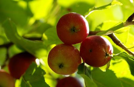 apple tree close up