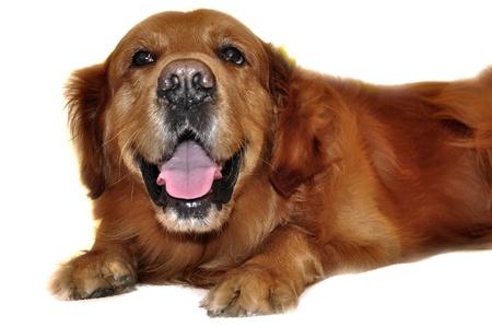 Golden Retriever dog isolated  Stock Photo