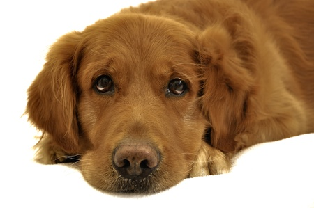 Golden retriever dog lying with sad face  Worried and thinking  Expressive eyes   photo
