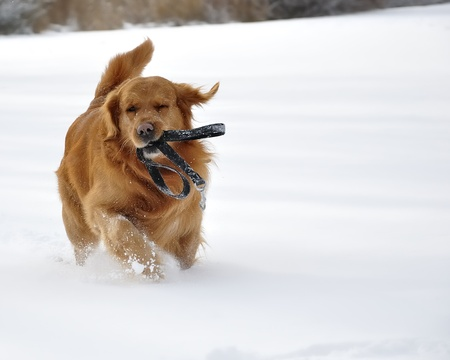 Golden retriever in the snow  Happy dog   Stock Photo
