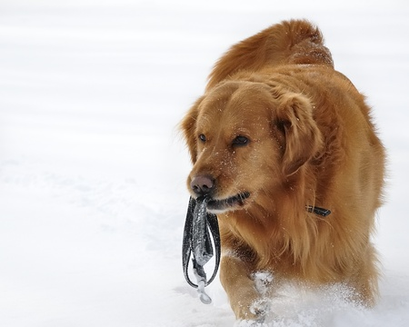 Golden Retriever dog photo