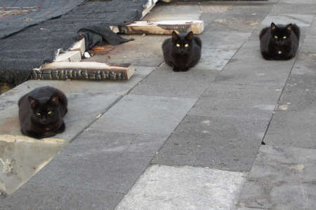 3 black wild cats with green eyes