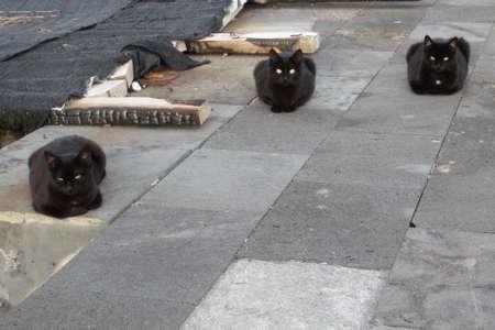 3 schwarze Wildkatzen mit grünen Augen