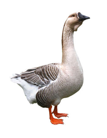 palmiped: Goose  isolated