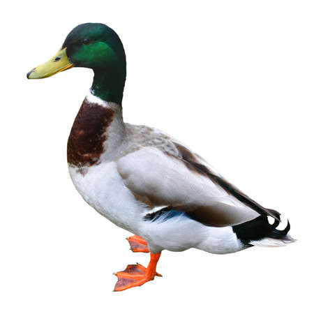 canard colvert: Canard (isol�) Banque d'images