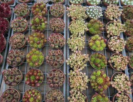 Las variedades de plantas suculentas