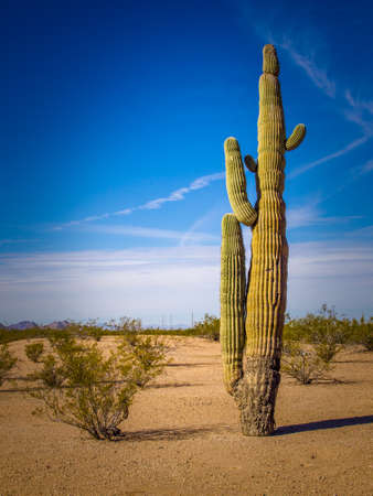 arid climate: A tall cactus in a desert scene.