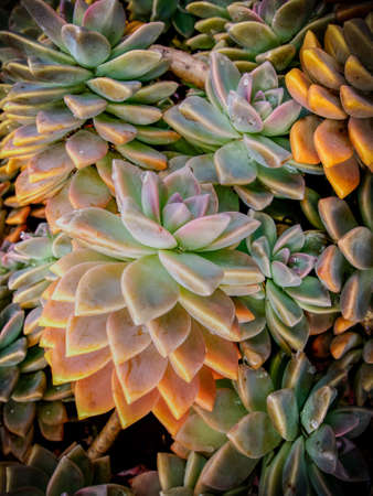 A close up of hens and chicks with water drops on the fleshy leaves. Stok Fotoğraf