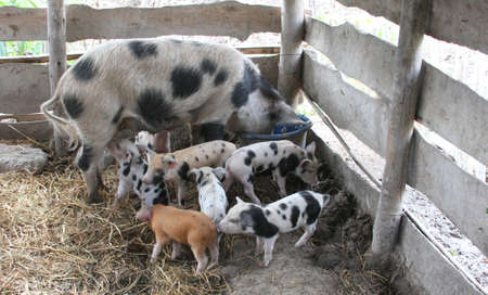 Sow with seven piglets in a wooden pig pen Stock Photo - 56102519