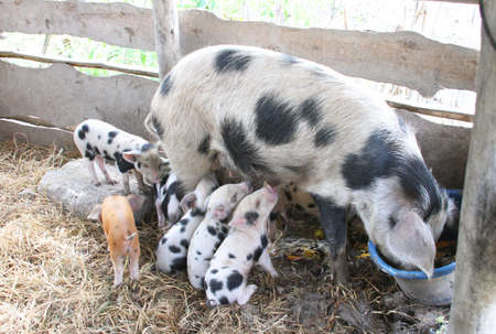 piglets: Spotted sow pig feeding with three spotted piglets suckling her teats