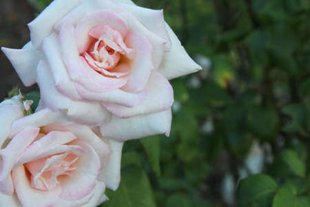 room for text: Two fully-bloomed blush pink roses in a garden with room for text