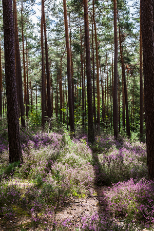 Sunlit Clearing with Blooming Heather in the Middle of a Forest Stock Photo