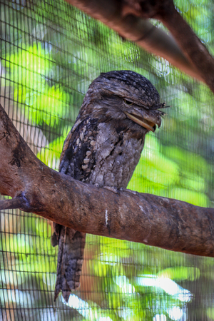 Tawny frogmouth perched on tree branch Stock Photo