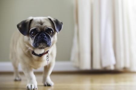 Pug Pekingese mix, puginese. shallow depth of field, warm colors, natural light, sad looking dog Stock Photo