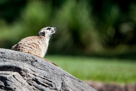 erdmaennchen: meerkat sitting on a rock looking up. Beautifuly clean blurred green background with space for your custom text