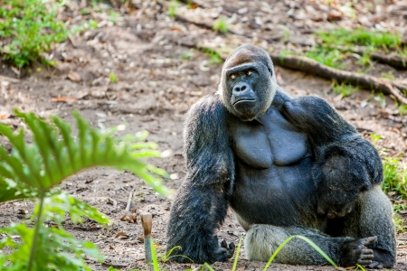 large gorilla sitting on the ground by himself looking off to the side. Sad look on his face thoughtfull look. Space for custom text  Stock Photo