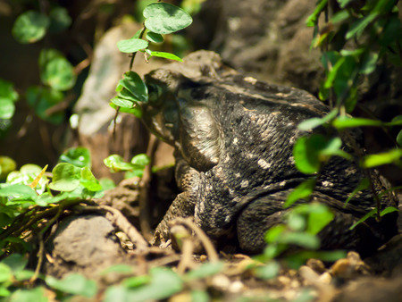 croak: American Toad