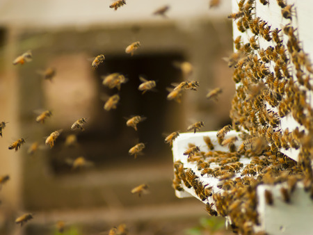 honey comb: Honeybees Stock Photo