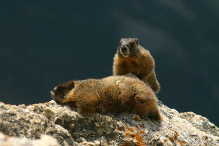 sunning: Two Yellow-Bellied Marmots sunning on a rock