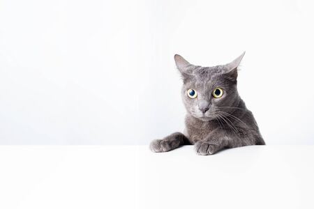 The expression and gesture of a Russian blue cat that can be used as a banner. a cat portrait.