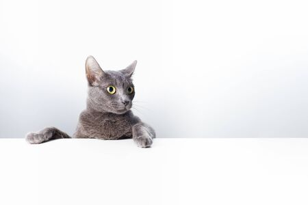 The expression and gesture of a Russian blue cat that can be used as a banner. a cat portrait. 免版税图像 - 148149301