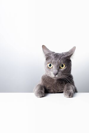 The expression and gesture of a Russian blue cat that can be used as a banner. a cat portrait. 免版税图像 - 148149300