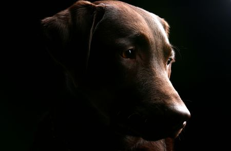 Labrador Head Profile photo