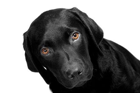 Labrador Puppy with Bright Eyes photo