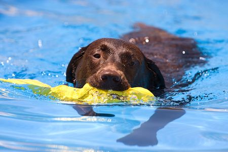 retrieve: Shot of a Chocolate Labrador retrieving a toy from the water Stock Photo