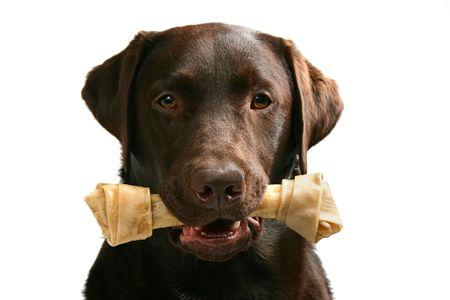 hueso de perro: Foto de un labrador chocolate con un hueso en la boca  Foto de archivo