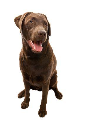 obedient: Obedient Labrador Smiling