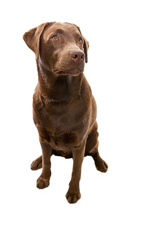 obedient: Obedient Labrador Looking Off Camera against White Background Stock Photo