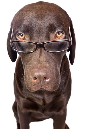 Clever Looking Labrador with Glasses Stock Photo