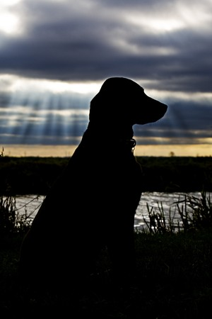 silhouetted: Silhouetted Labrador against River and Dark Sky Behind   Stock Photo