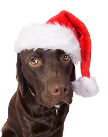 labrador christmas: Festive Labrador Stock Photo