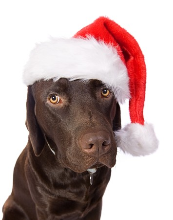 chocolate christmas: Festivos Labrador