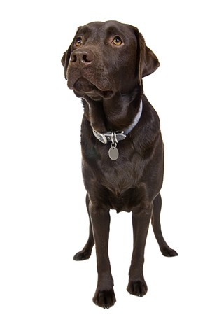 Handsome Chocolate Labrador photo