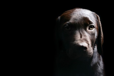 Labrador Puppy Head On against a Black Background photo