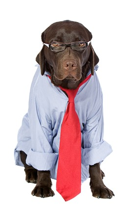 Working Labrador in Shirt and Tie Stock Photo