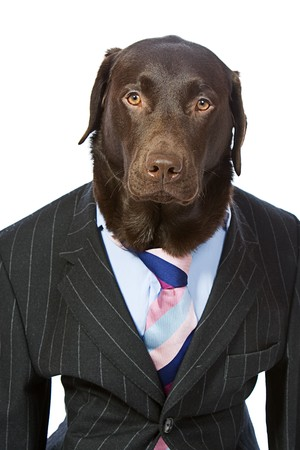 Suited Labrador Ready for Work